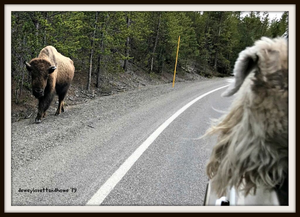 Dogs are as curious about bisons as people are.